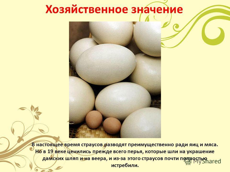 Хозяйственное значение В настоящее время страусов разводят преимущественно ради яиц и мяса. Но в 19 веке ценились прежде всего перья, которые шли на украшение дамских шляп и на веера, и из-за этого страусов почти полностью истребили.