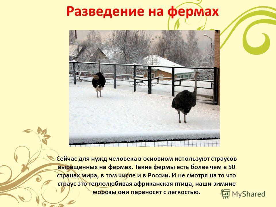 Разведение на фермах Сейчас для нужд человека в основном используют страусов выращенных на фермах. Такие фермы есть более чем в 50 странах мира, в том числе и в России. И не смотря на то что страус это теплолюбивая африканская птица, наши зимние моро