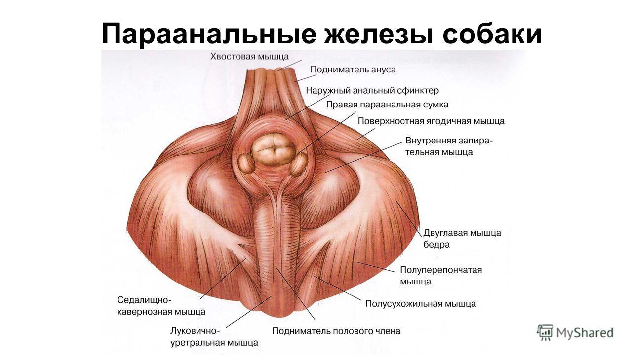kak-prochistit-analnie-zhelezi