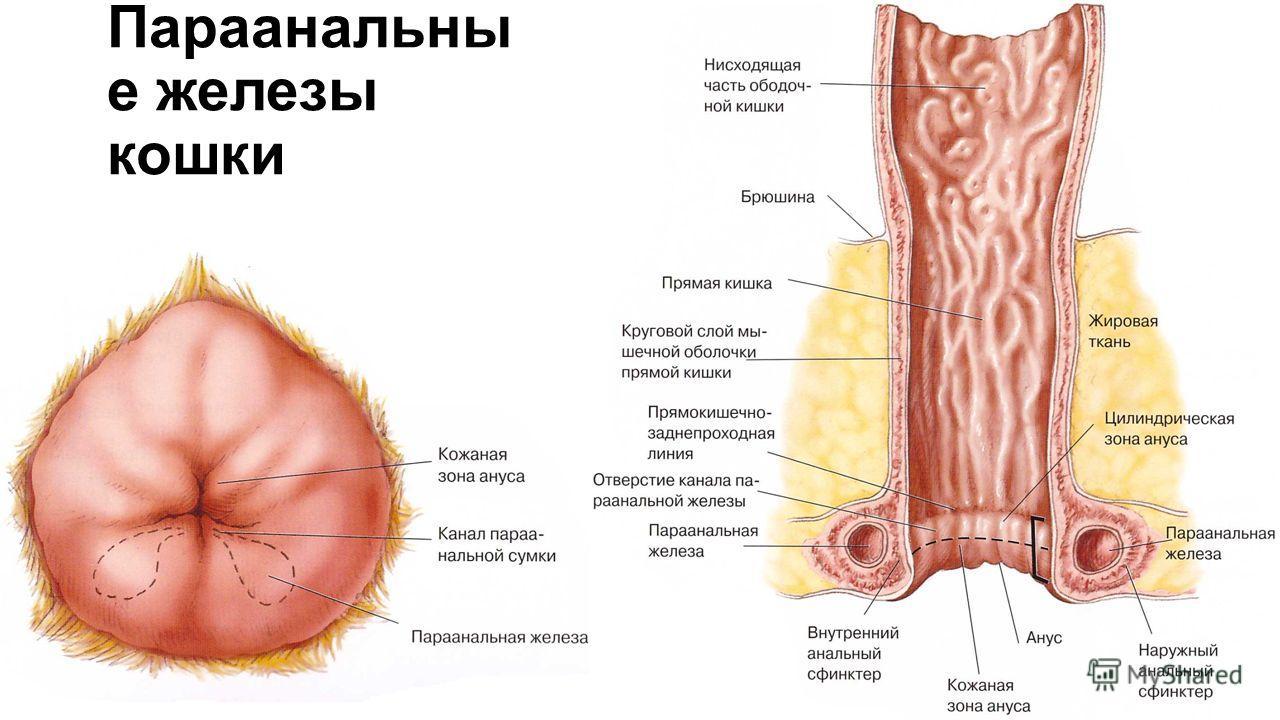 Как лечить воспаление параанальных желез собак