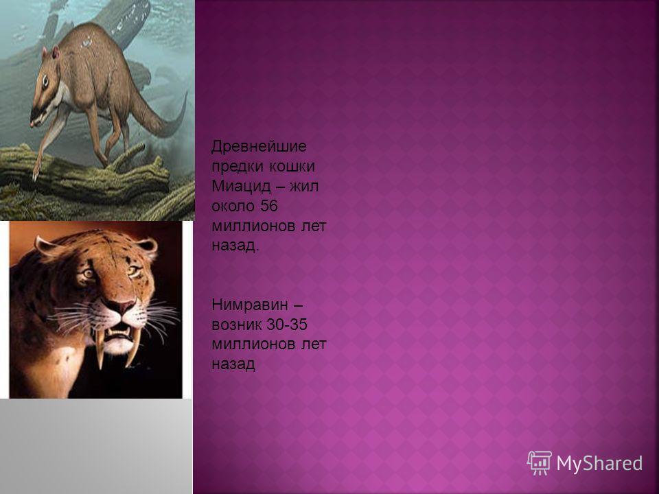 Древнейшие предки кошки Миацид – жил около 56 миллионов лет назад. Нимравин – возник 30-35 миллионов лет назад