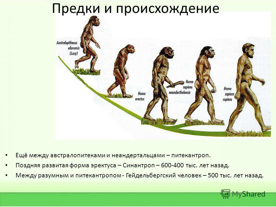 Ещё между австралопитеками и неандертальцами – питекантроп. Поздняя развитая форма эректуса – Синантроп – 600-400 тыс. лет назад. Между разумным и питекантропом - Гейдельбергский человек – 500 тыс. лет назад. Предки и происхождение