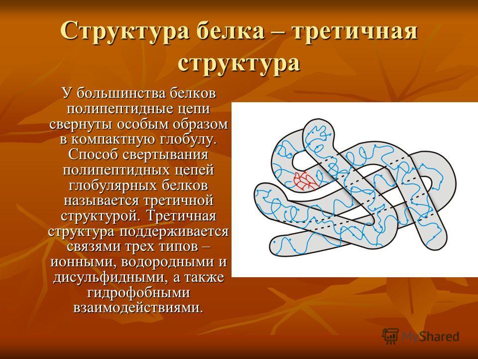 Структура белка – третичная структура У большинства белков полипептидные цепи свернуты особым образом в компактную глобулу. Способ свертывания полипептидных цепей глобулярных белков называется третичной структурой. Третичная структура поддерживается