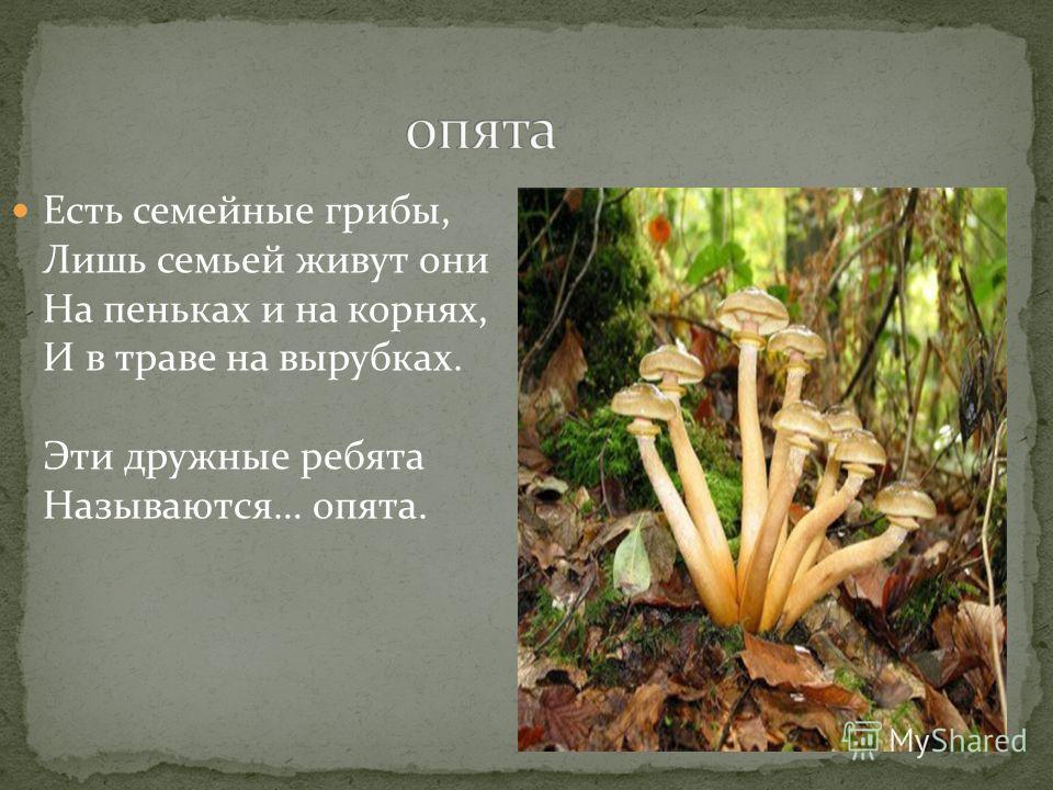 Есть семейные грибы, Лишь семьей живут они На пеньках и на корнях, И в траве на вырубках. Эти дружные ребята Называются… опята.