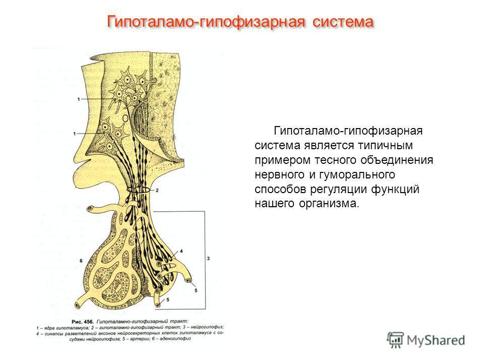 Гипоталамо-гипофизарная система является типичным примером тесного объединения нервного и гуморального способов регуляции функций нашего организма. Гипоталамо-гипофизарная система