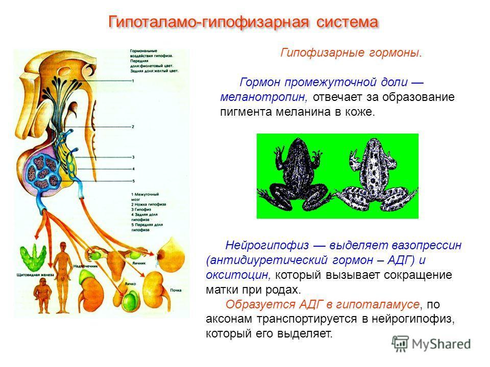 Гипофизарные гормоны. Гормон промежуточной доли меланотропин, отвечает за образование пигмента меланина в коже. Нейрогипофиз выделяет вазопрессин (антидиуретический гормон – АДГ) и окситоцин, который вызывает сокращение матки при родах. Образуется АД