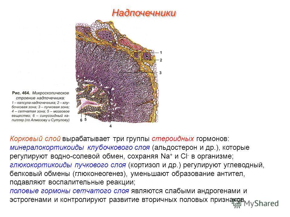 Корковый слой вырабатывает три группы стероидных гормонов: минералокортикоиды клубочкового слоя (альдостерон и др.), которые регулируют водно-солевой обмен, сохраняя Na + и Cl - в организме; глюкокортикоиды пучкового слоя (кортизол и др.) регулируют
