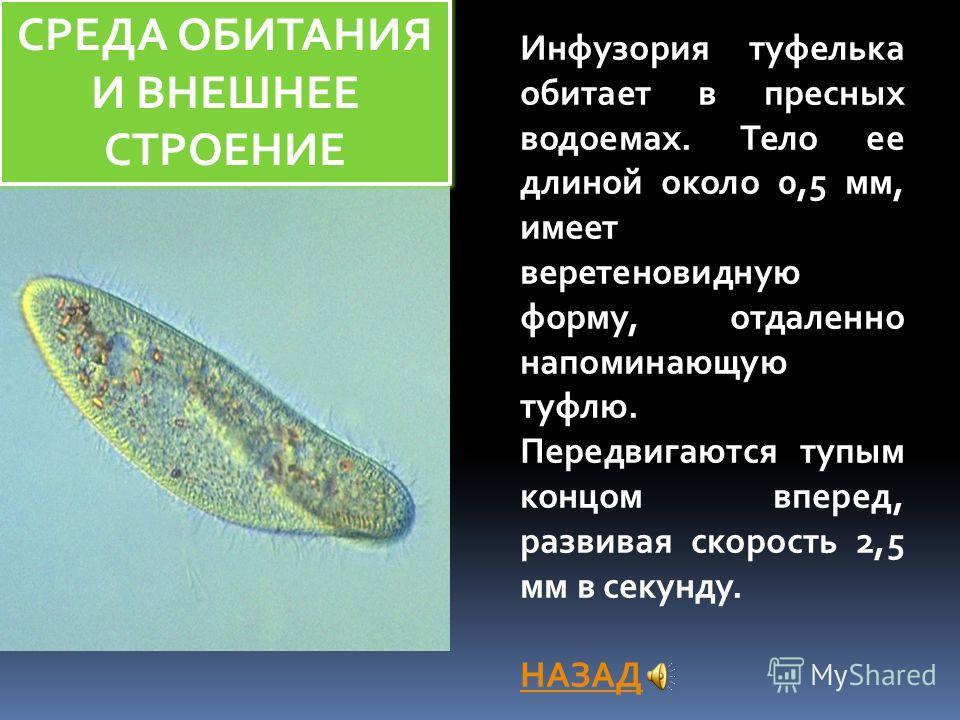 СРЕДА ОБИТАНИЯ И ВНЕШНЕЕ СТРОЕНИЕ Инфузория туфелька обитает в пресных водоемах. Тело ее длиной около 0,5 мм, имеет веретеновидную форму, отдаленно напоминающую туфлю. Передвигаются тупым концом вперед, развивая скорость 2,5 мм в секунду. НАЗАД
