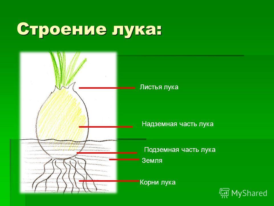 Земля Подземная часть лука Надземная часть лука Листья лука Строение лука:
