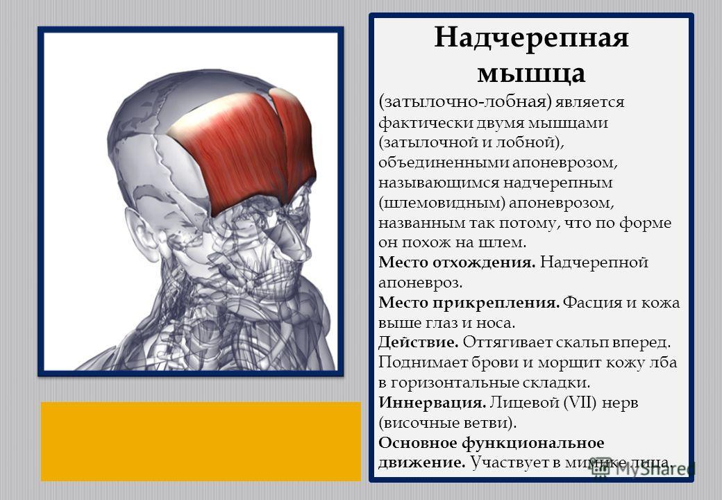 Надчерепная мышца (затылочно-лобная) является фактически двумя мышцами (затылочной и лобной), объединенными апоневрозом, называющимся надчерепным (шлемовидным) апоневрозом, названным так потому, что по форме он похож на шлем. Место отхождения. Надчер