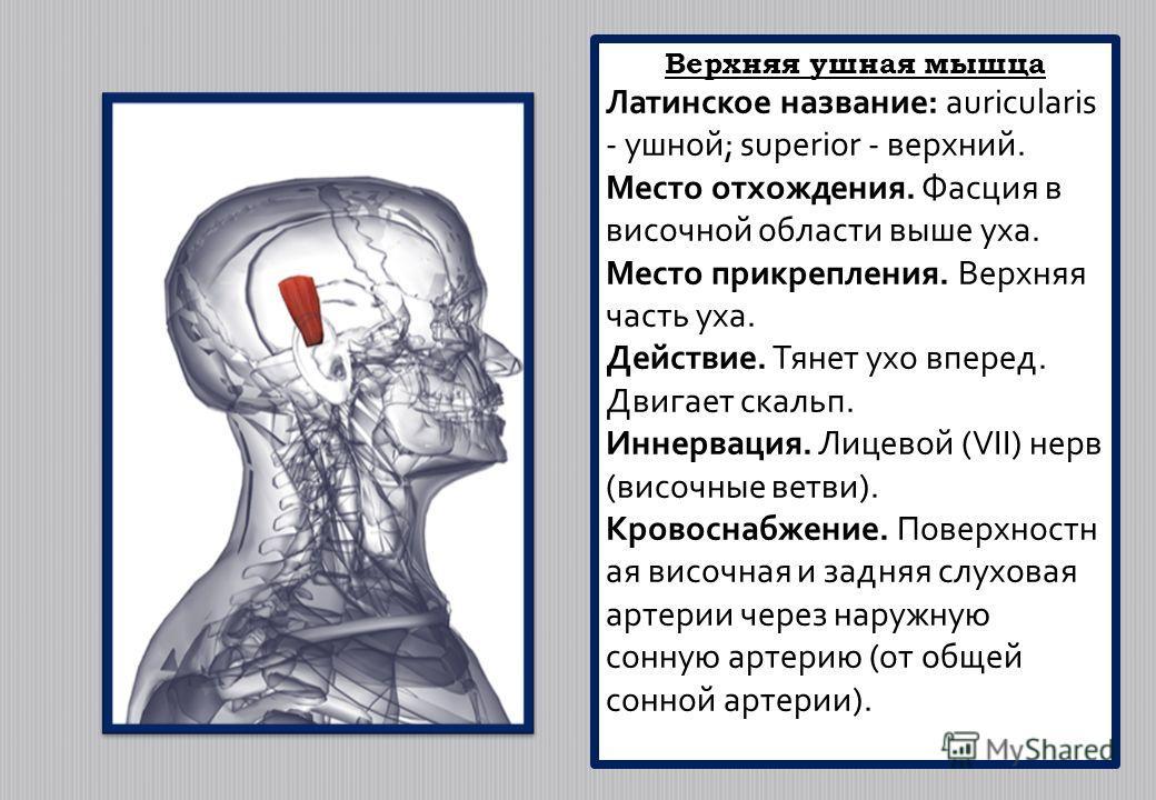 Верхняя ушная мышца Латинское название: auricularis - ушной; superior - верхний. Место отхождения. Фасция в височной области выше уха. Место прикрепления. Верхняя часть уха. Действие. Тянет ухо вперед. Двигает скальп. Иннервация. Лицевой (VII) нерв (