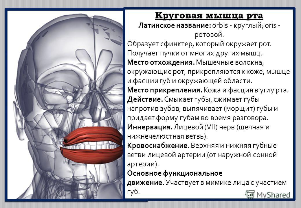 Круговая мышца рта Латинское название: orbis - круглый; oris - ротовой. Образует сфинктер, который окружает рот. Получает пучки от многих других мышц. Место отхождения. Мышечные волокна, окружающие рот, прикрепляются к коже, мышце и фасции губ и окру