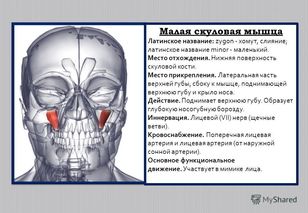 Малая скуловая мышца Латинское название: zygon - хомут, слияние; латинское название minor - маленький. Место отхождения. Нижняя поверхность скуловой кости. Место прикрепления. Латеральная часть верхней губы, сбоку к мышце, поднимающей верхнюю губу и