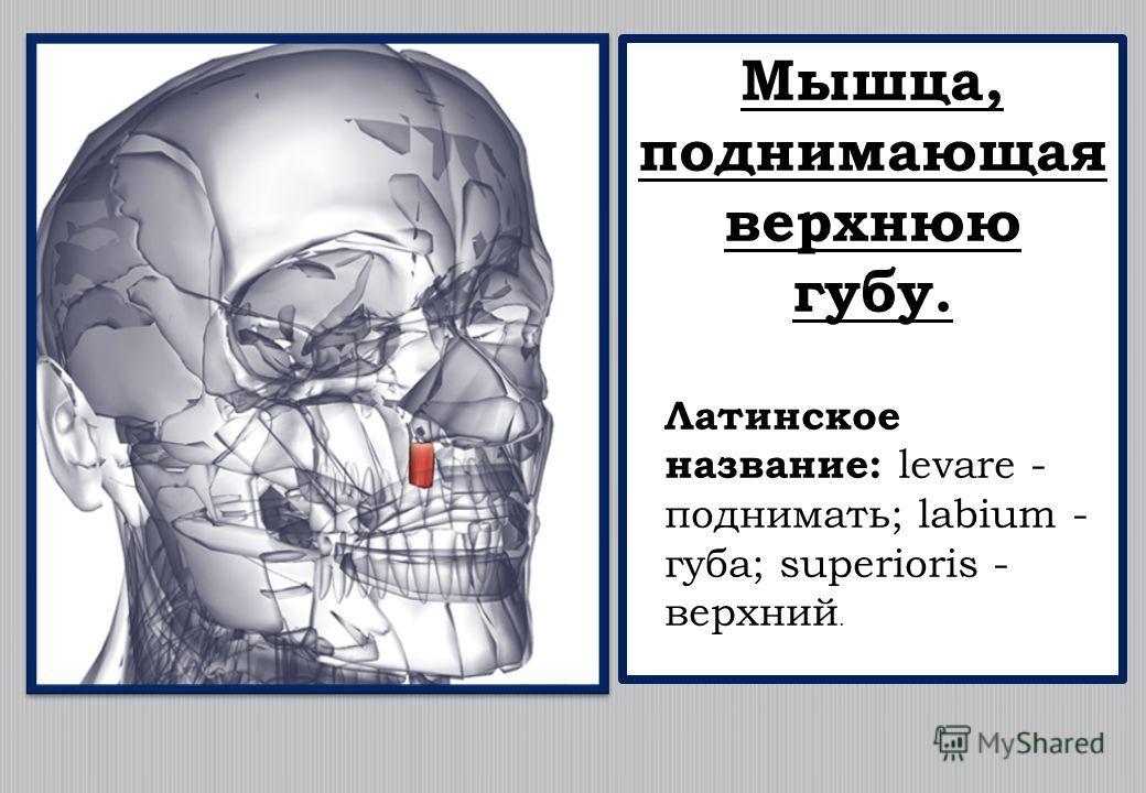 Мышца, поднимающая верхнюю губу. Латинское название: levare - поднимать; labium - губа; superioris - верхний.