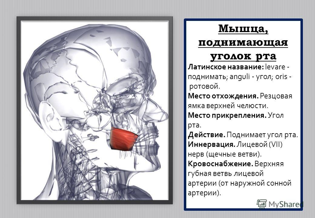 Мышца, поднимающая уголок рта Латинское название: levare - поднимать; anguli - угол; oris - ротовой. Место отхождения. Резцовая ямка верхней челюсти. Место прикрепления. Угол рта. Действие. Поднимает угол рта. Иннервация. Лицевой (VII) нерв (щечные в