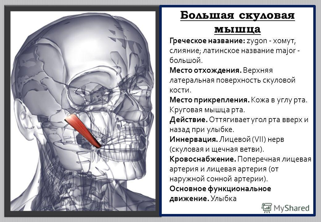 Большая скуловая мышца Греческое название: zygon - хомут, слияние; латинское название major - большой. Место отхождения. Верхняя латеральная поверхность скуловой кости. Место прикрепления. Кожа в углу рта. Круговая мышца рта. Действие. Оттягивает уго
