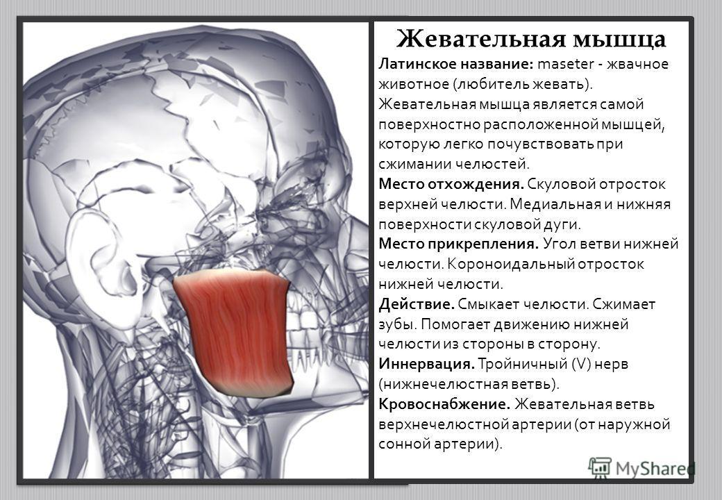 Жевательная мышца Латинское название: maseter - жвачное животное (любитель жевать). Жевательная мышца является самой поверхностно расположенной мышцей, которую легко почувствовать при сжимании челюстей. Место отхождения. Скуловой отросток верхней чел