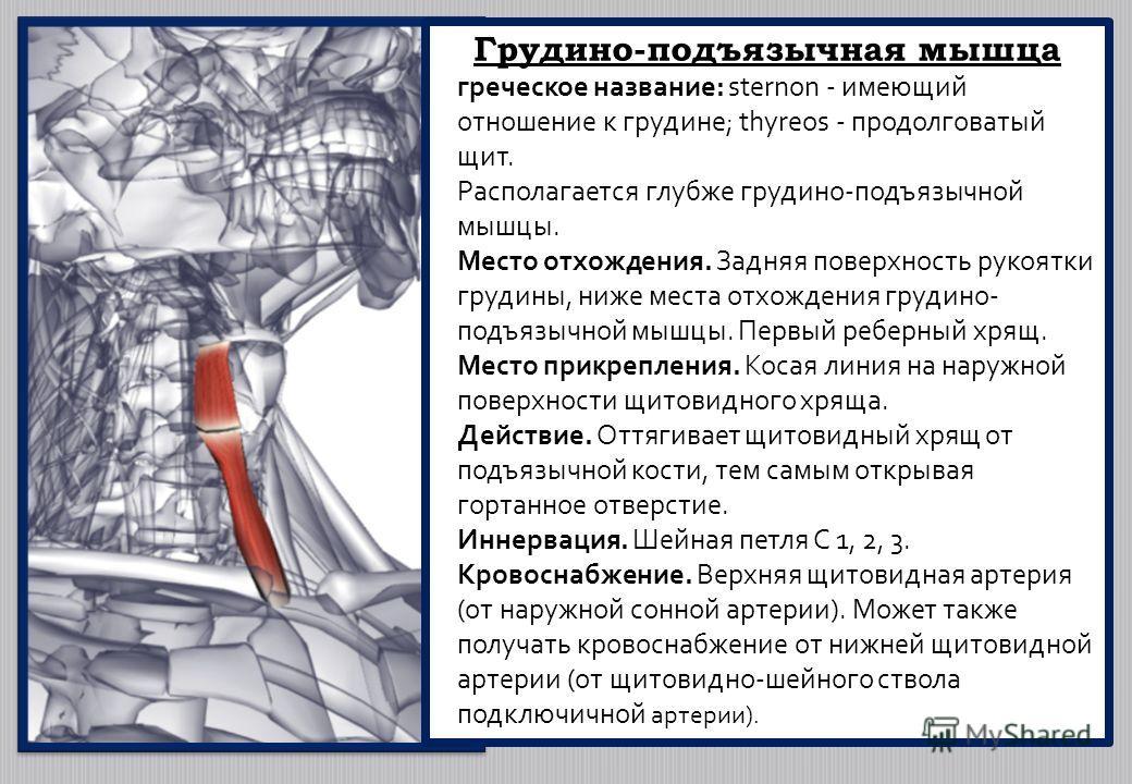 Грудино-подъязычная мышца греческое название: sternon - имеющий отношение к грудине; thyreos - продолговатый щит. Располагается глубже грудино-подъязычной мышцы. Место отхождения. Задняя поверхность рукоятки грудины, ниже места отхождения грудино- по