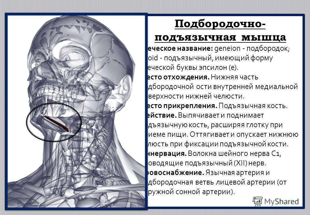 Подбородочно- подъязычная мышца Греческое название: geneion - подбородок; hyoid - подъязычный, имеющий форму греческой буквы эпсилон (е). Место отхождения. Нижняя часть подбородочной ости внутренней медиальной поверхности нижней челюсти. Место прикре