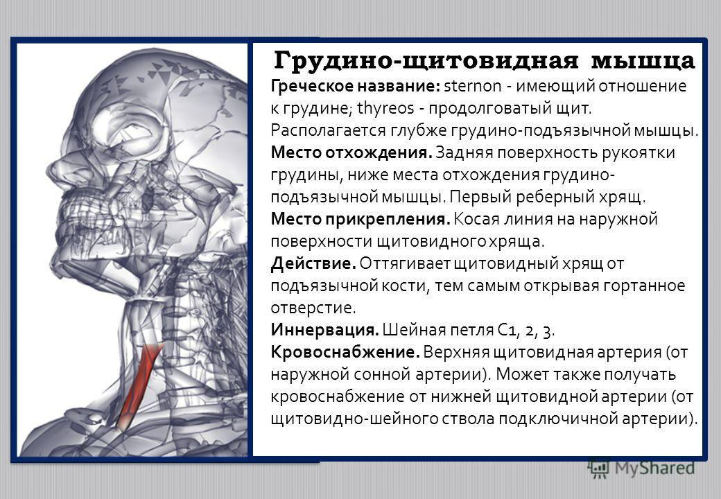 Грудино-щитовидная мышца Греческое название: sternon - имеющий отношение к грудине; thyreos - продолговатый щит. Располагается глубже грудино-подъязычной мышцы. Место отхождения. Задняя поверхность рукоятки грудины, ниже места отхождения грудино- под