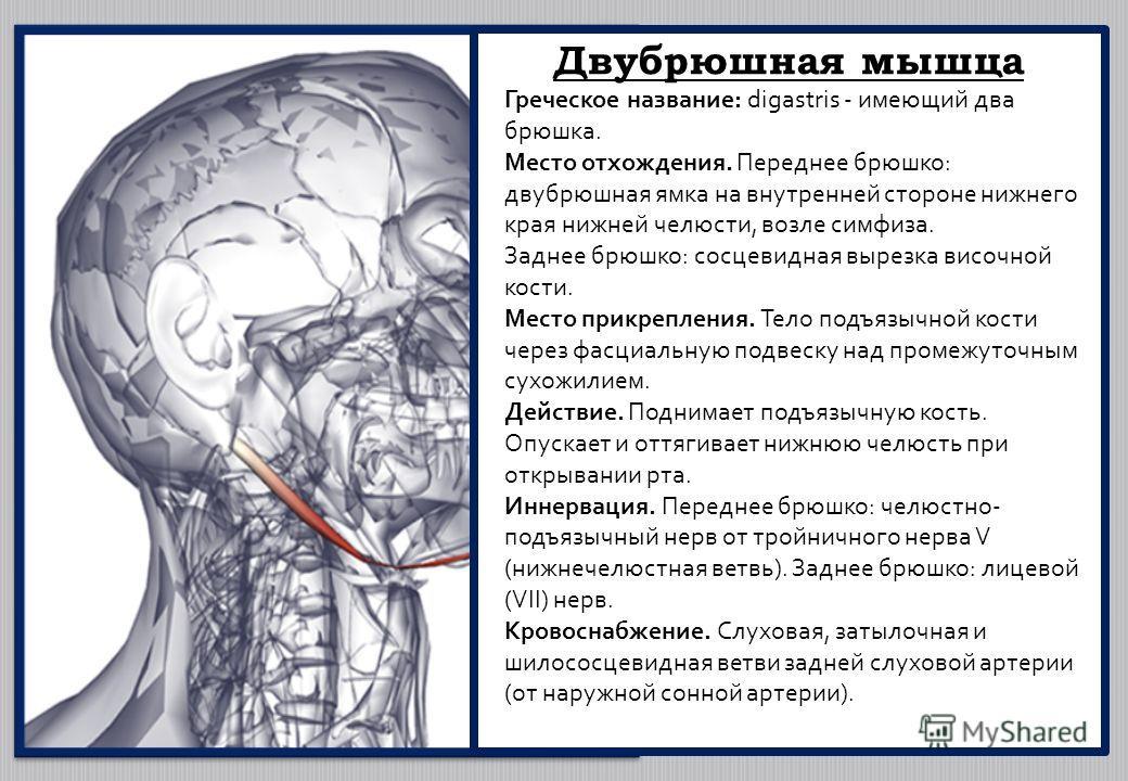 Двубрюшная мышца Греческое название: digastris - имеющий два брюшка. Место отхождения. Переднее брюшко: двубрюшная ямка на внутренней стороне нижнего края нижней челюсти, возле симфиза. Заднее брюшко: сосцевидная вырезка височной кости. Место прикреп