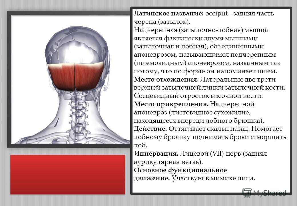 Латинское название: occiput - задняя часть черепа (затылок). Надчерепная (затылочно-лобная) мышца является фактически двумя мышцами (затылочная и лобная), объединенными апоневрозом, называющимся подчерепным (шлемовидным) апоневрозом, названным так по
