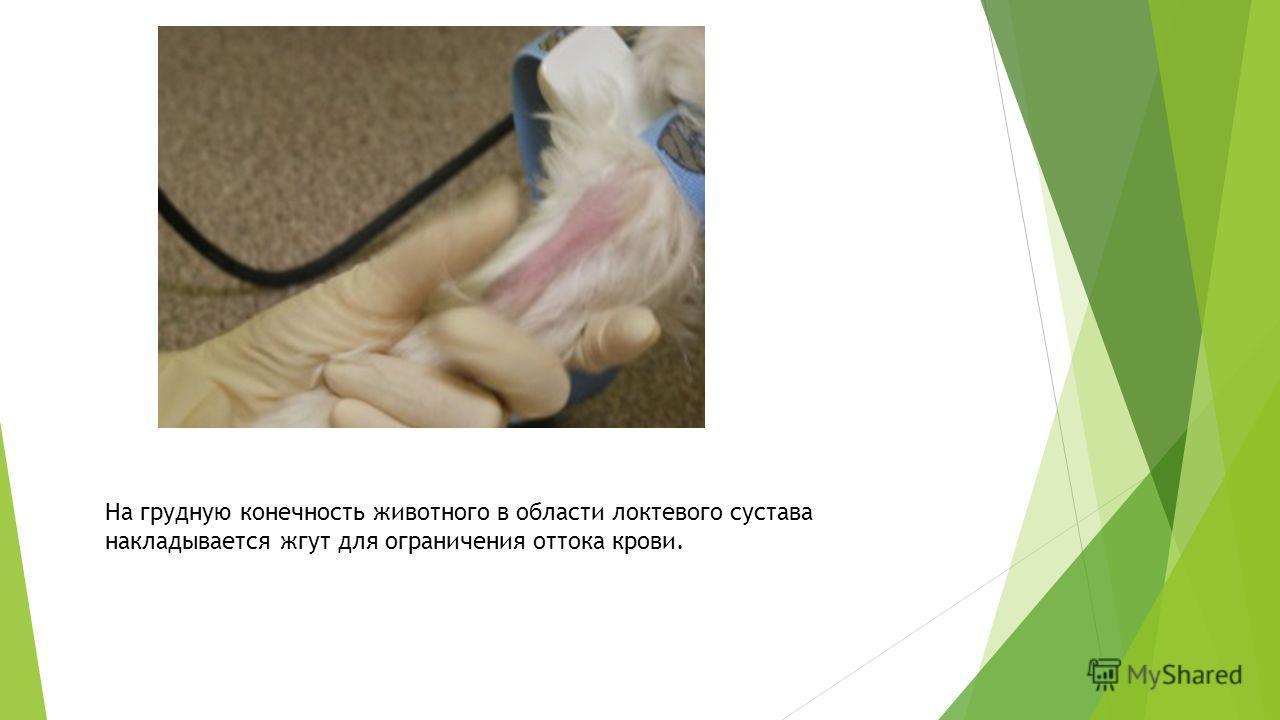 На грудную конечность животного в области локтевого сустава накладывается жгут для ограничения оттока крови.