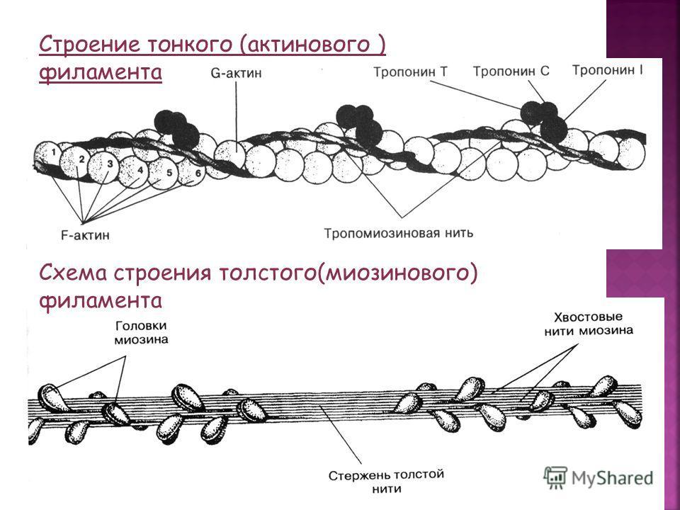 Строение тонкого (актинового ) филамента Схема строения толстого(миозинового) филамента