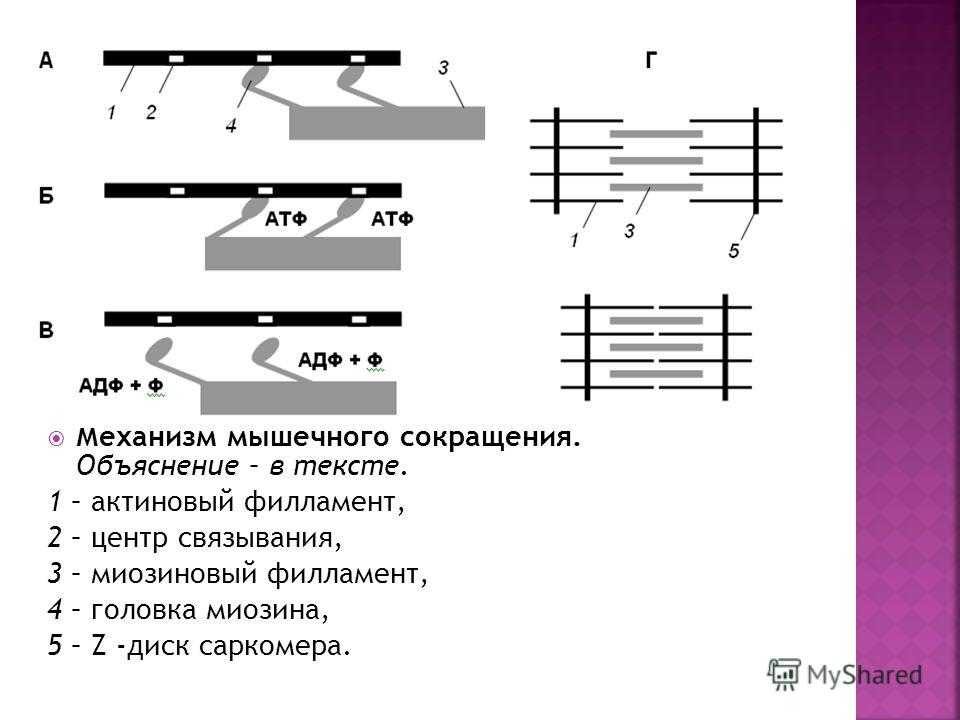 Механизм мышечного сокращения. Объяснение – в тексте. 1 – актиновый филамент, 2 – центр связывания, 3 – миозиновый филамент, 4 – головка миозина, 5 – Z -диск саркомера.