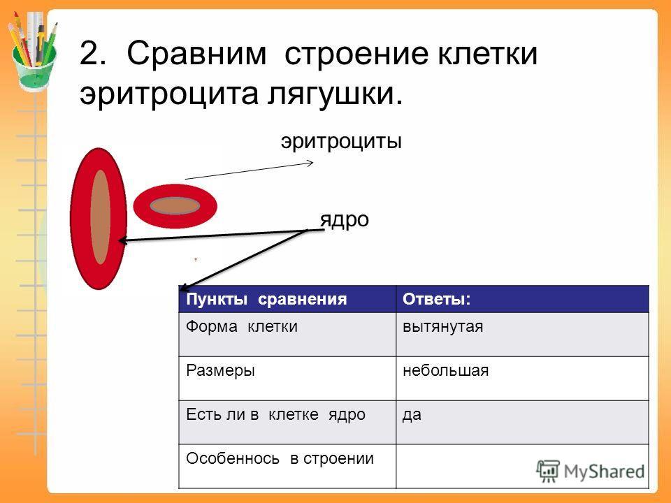 Пункты сравнения Ответы: Форма клетки вытянутая Размерынебольшая Есть ли в клетке ядро да Особеннось в строении 2. Сравним строение клетки эритроцита лягушки. эритроциты ядро