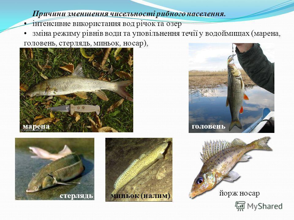 Причини зменшення чисельності рибного населения. інтенсивне використання вод річок та озер зміна режиму рівнів води та уповільнення течії у водоймищах (марена, головень, стерлядь, миньок, носар), маренаголовень стерлядьминьок (налим) йорж носар