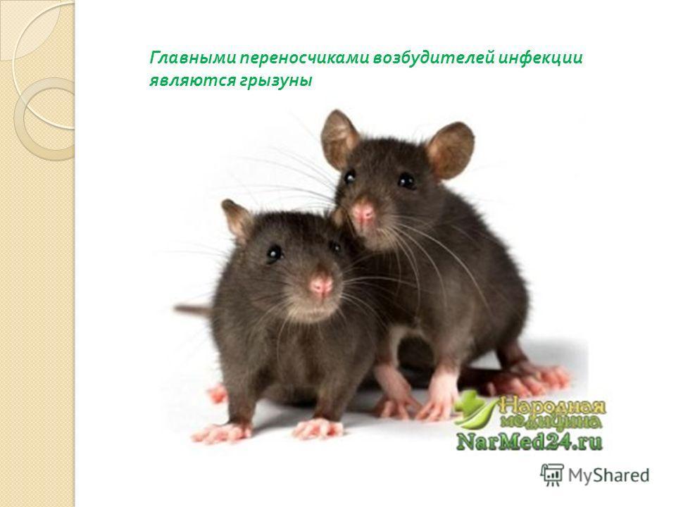 Главными переносчиками возбудителей инфекции являются грызуны