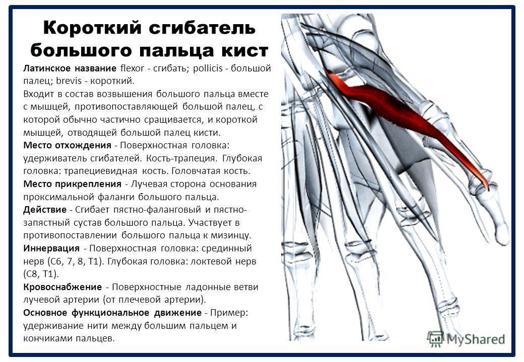 Короткий сгибатель большого пальца кист Латинское название flexor - сгибать ; pollicis - большой палец ; brevis - короткий. Входит в состав возвышения большого пальца вместе с мышцей, противопоставляющей большой палец, с которой обычно частично сращи