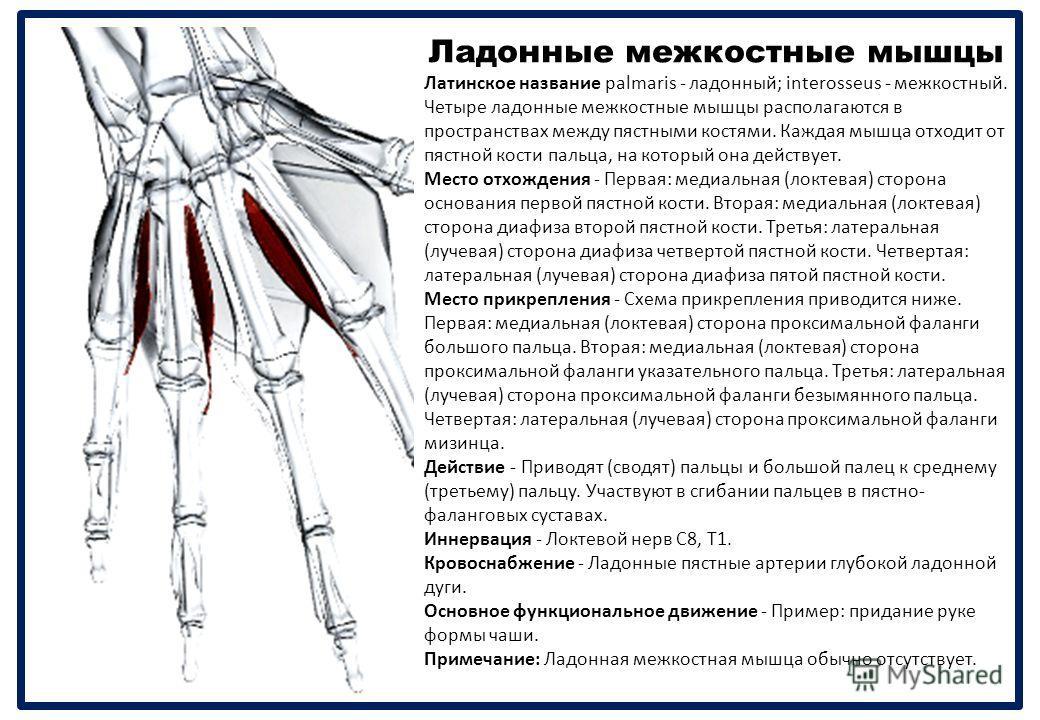 Ладонные межкостные мышцы Латинское название palmaris - ладонный ; interosseus - межкостный. Четыре ладонные межкостные мышцы располагаются в пространствах между пястными костями. Каждая мышца отходит от пястной кости пальца, на который она действует