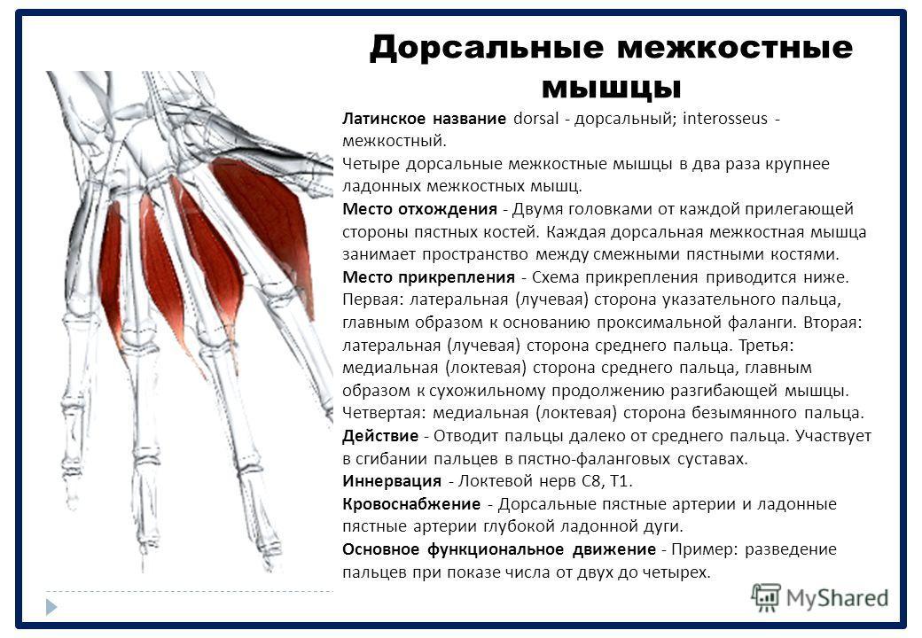Дорсальные межкостные мышцы Латинское название dorsal - дорсальный ; interosseus - межкостный. Четыре дорсальные межкостные мышцы в два раза крупнее ладонных межкостных мышц. Место отхождения - Двумя головками от каждой прилегающей стороны пястных ко