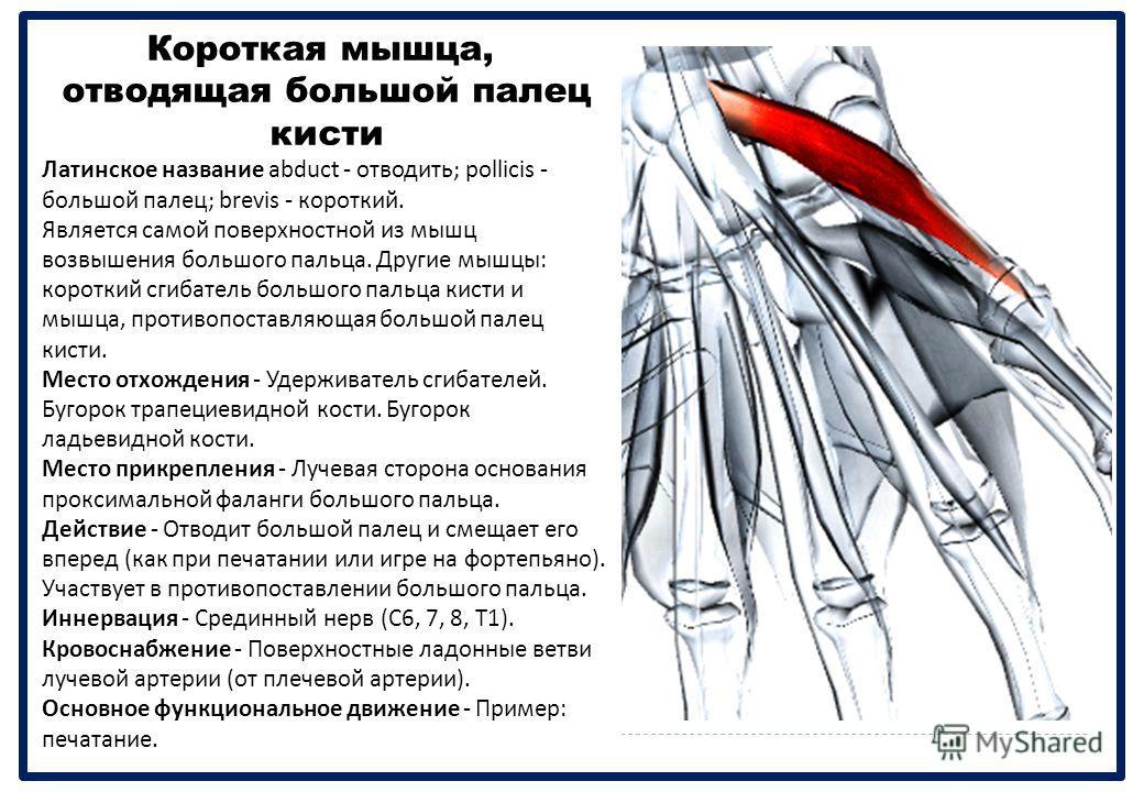 Короткая мышца, отводящая большой палец кисти Латинское название abduct - отводить ; pollicis - большой палец ; brevis - короткий. Является самой поверхностной из мышц возвышения большого пальца. Другие мышцы : короткий сгибатель большого пальца кист