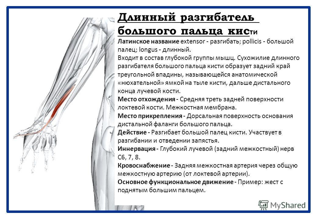 Короткий разгибатель большого пальца кисти Латинское название extensor - разгибать; pollicis - большой палец; brevis - короткий. Входит в состав глубокой группы мышц. Лежит дистальнее длинной мышцы, приводящей большой палец, к которой тесно прилежит.