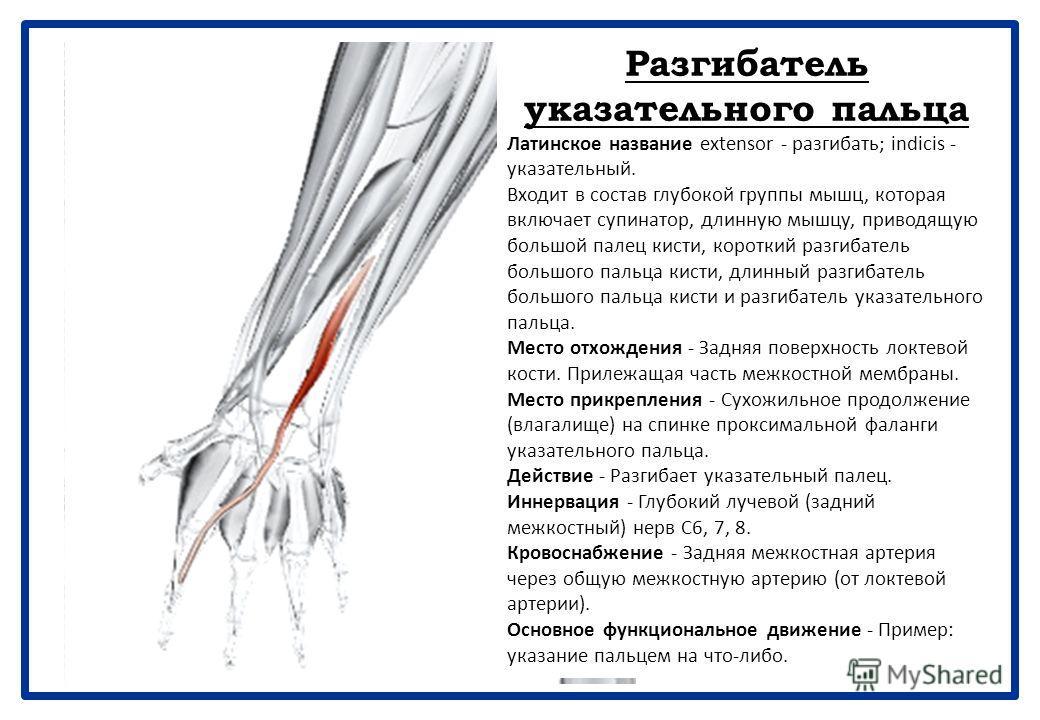 Длинный разгибатель большого пальца кис ти Латинское название extensor - разгибать; pollicis - большой палец; longus - длинный. Входит в состав глубокой группы мышц. Сухожилие длинного разгибателя большого пальца кисти образует задний край треугольно