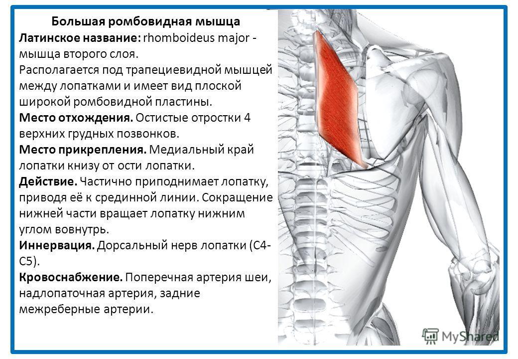 Широчайшая мышца спины Латинское название: latissimus - самый широкий; dorsi - спины. Вместе с подлопаточной и большой круглой мышцей широчайшая мышца спины образует заднюю стенку подмышечной впадины. Место отхождения. Пояснично-грудная фасция, котор