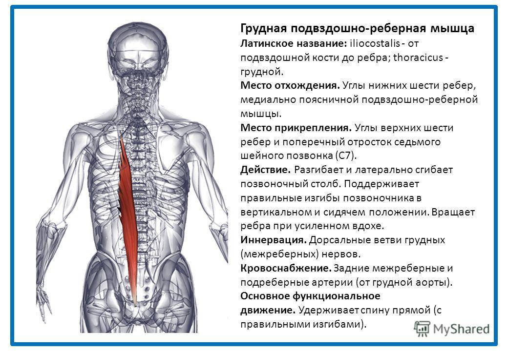 Ременная мышца головы греческое название: splenion - ремень; латинское название capitis - головы. Место отхождения. Нижняя часть выйной связки. Остистые отростки седьмого шейного позвонка (С7) и верхних трех или четырех грудных позвонков (Т1-Т4). Мес