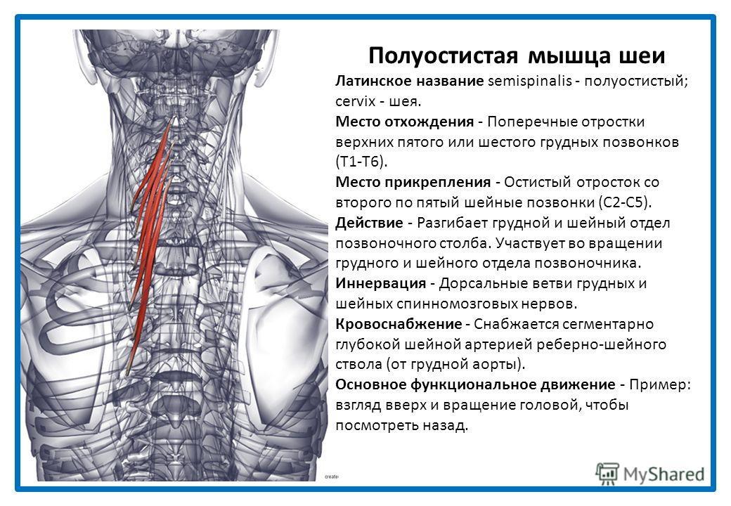 Полуостистая мышца головы Латинское название semispinalis - полуостистый; capitis - головы. Является медиальной частью остистой мышцы головы. Место отхождения - Поперечные отростки нижних четырех шейных и верхних шестого или седьмого грудных позвонко