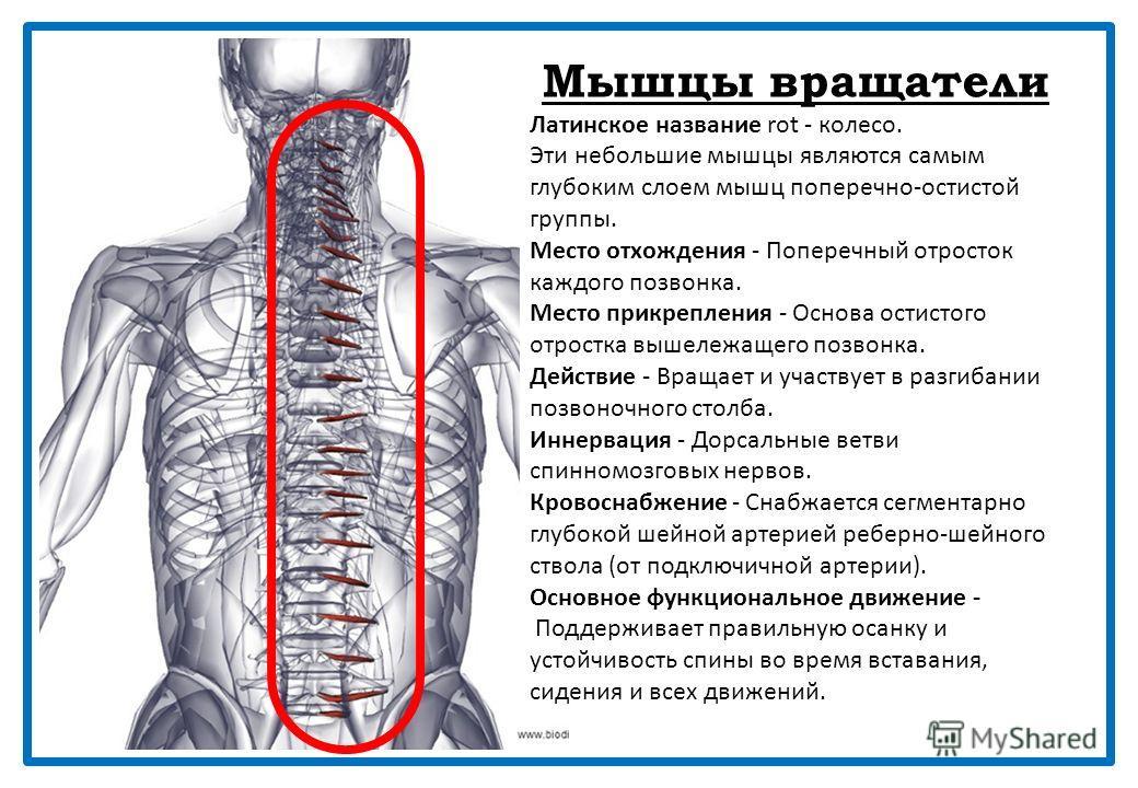 Полуостистая мышца шеи Латинское название semispinalis - полуостистый; cervix - шея. Место отхождения - Поперечные отростки верхних пятого или шестого грудных позвонков (Т1-Т6). Место прикрепления - Остистый отросток со второго по пятый шейные позвон