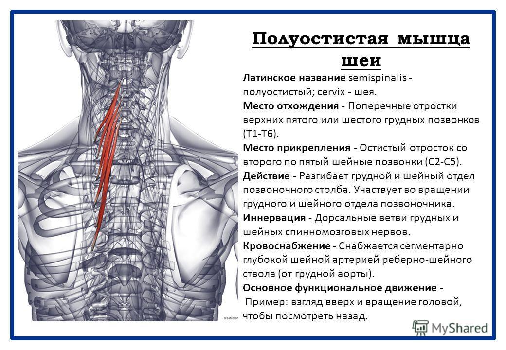 Большая задняя прямая мышца головы Латинское название rectum - прямой; capitis - головы; posterior - задний; major - большой. Место отхождения - Остистый отросток эпистрофея. Место прикрепления - Ниже латеральной части нижней выйной линии затылочной