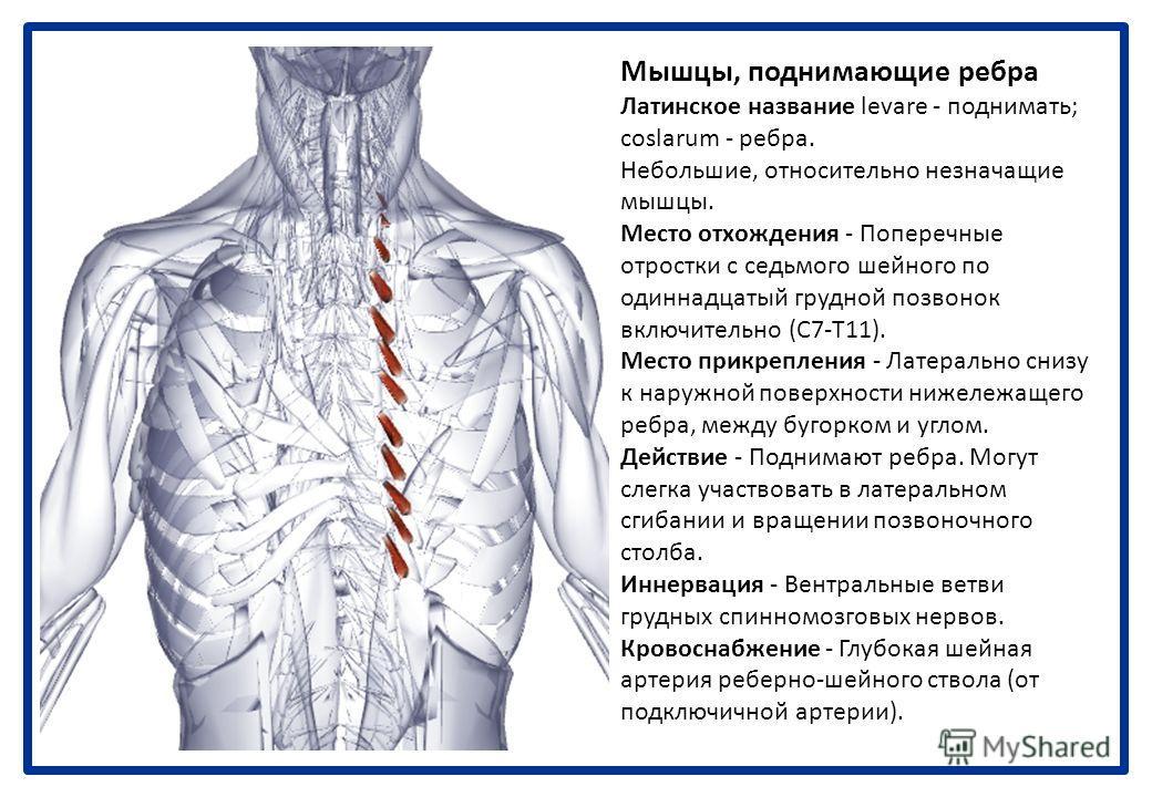 Диафрагма Греческое название diaphragm - разделение, стена. Место отхождения - Стернальная часть: задняя часть мечевидного отростка. Реберная часть: внутренние поверхности нижних шести ребер и их реберных хрящей. Поясничная часть: верхние два или три
