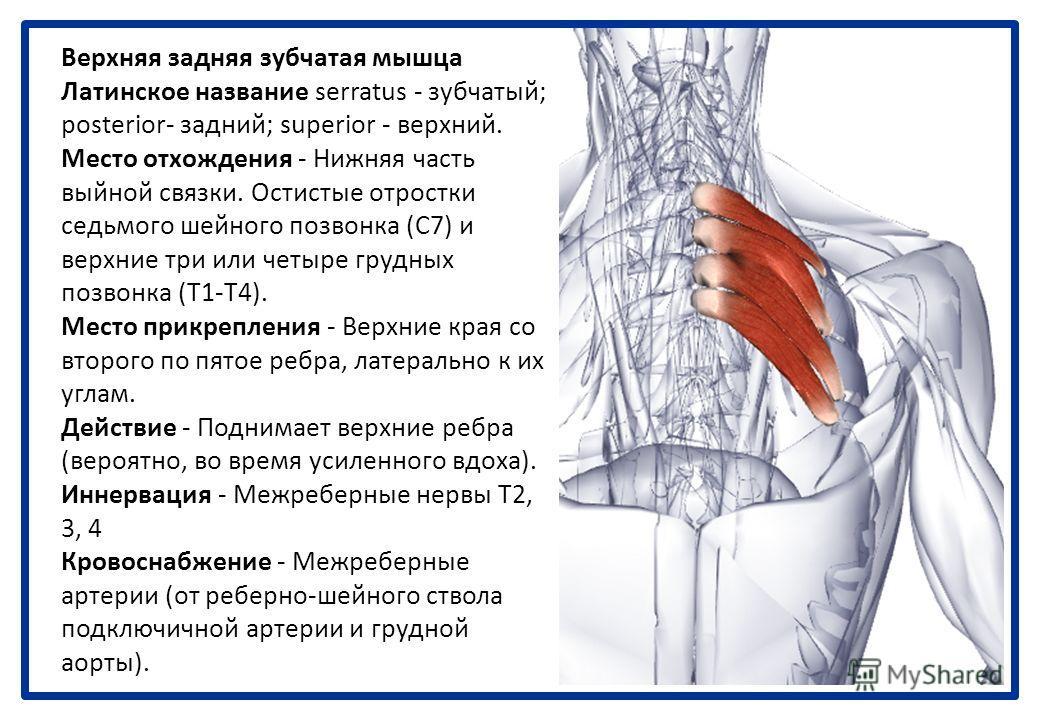 Мышцы, поднимающие ребра Латинское название levare - поднимать; coslarum - ребра. Небольшие, относительно незначащие мышцы. Место отхождения - Поперечные отростки с седьмого шейного по одиннадцатый грудной позвонок включительно (С7-Т11). Место прикре