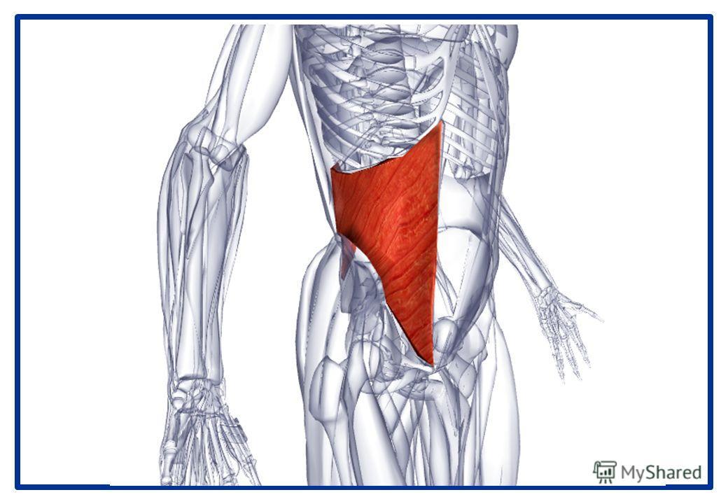 Внутренняя косая мышца живота Латинское название obliquus - наклонный, косой; internus - внутренний; abdominis - живот. Место отхождения - Подвздошный гребень. Латеральные две трети паховой связки. Пояснично-грудная фасция. Место прикрепления - Нижни