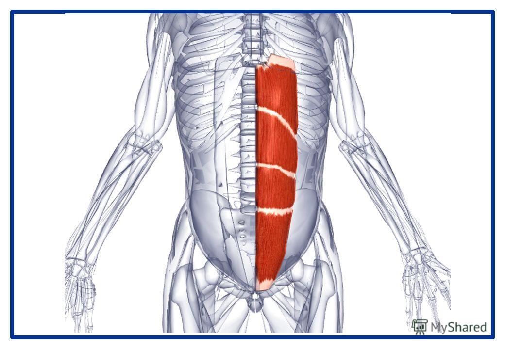 Прямая мышца живота Латинское название rectum - прямой; abdominis -живот. Прямая мышца живота разделяется на 3-4 мышечные полоски, каждая из которых покрыта апоневротическими волокнами латеральных брюшных мышц. Эти волокна сходятся центрально, образу
