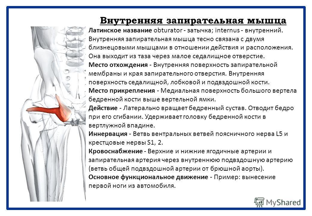 Грушевидная мышца Латинское название pirum - груша, piriform - грушевидный. Грушевидная мышца выходит из таза через большое седалищное отверстие. Место отхождения - Внутренняя поверхность крестца. Крестцово-остистая связка. Место прикрепления - Перед