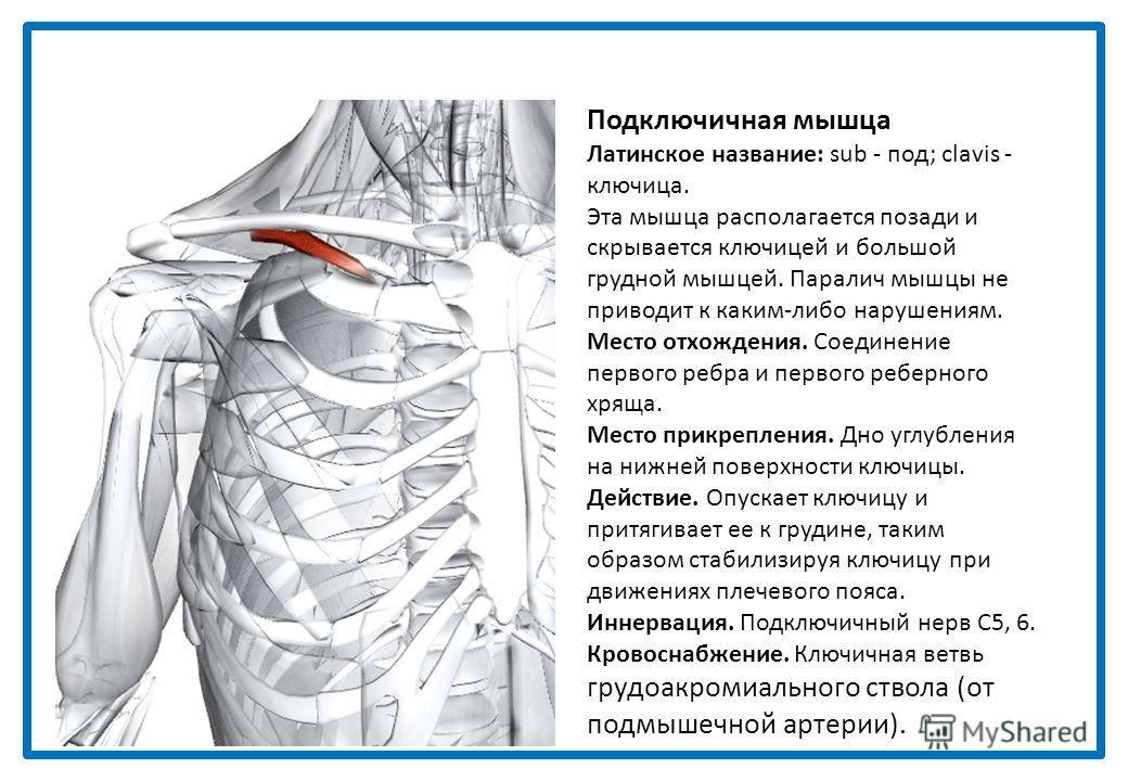Малая ромбовидная мышца Греческое название: rhomb - параллелограмм с косыми углами и равными противоположными сторонами; minor - малый. Левая и правая половины мышцы вместе образуют мышцу в форме трапеции. Место отхождения. Медиальная треть верхней в