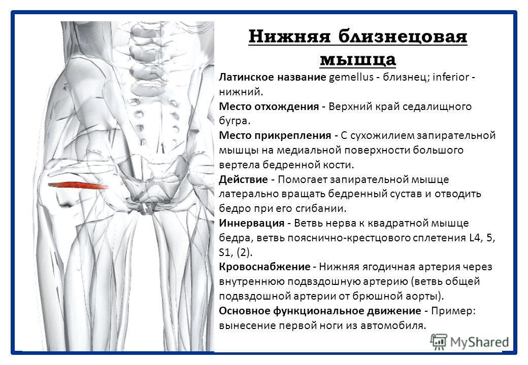 Внутренняя запирательная мышца Латинское название obturator - затычка; internus - внутренний. Внутренняя запирательная мышца тесно связана с двумя близнецовыми мышцами в отношении действия и расположения. Она выходит из таза через малое седалищное от